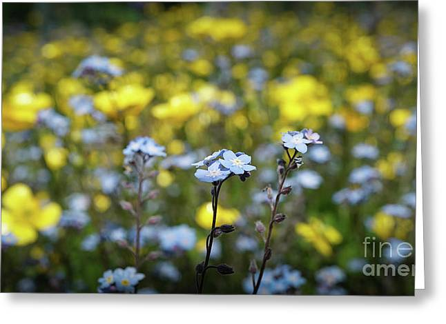 Myosotis With Yellow Flowers Greeting Card