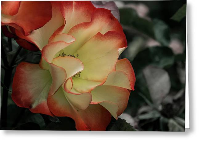 Mysterious Rose Greeting Card by Jean Noren