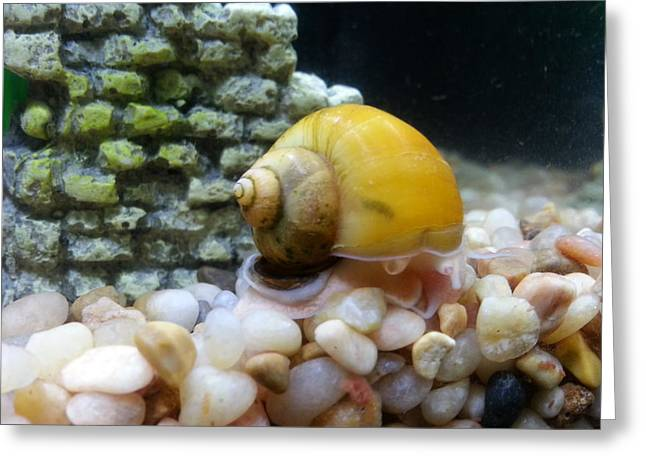Mystery Snail Greeting Card