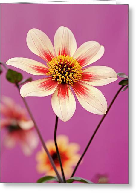 Mystic Dahlia Greeting Card