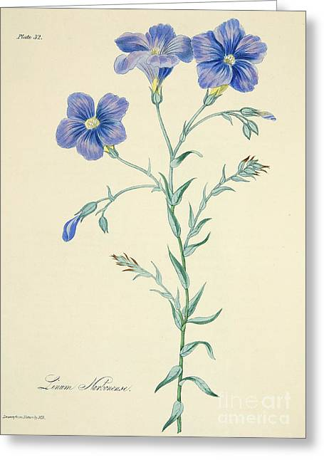Narbonne Blue Flax Greeting Card