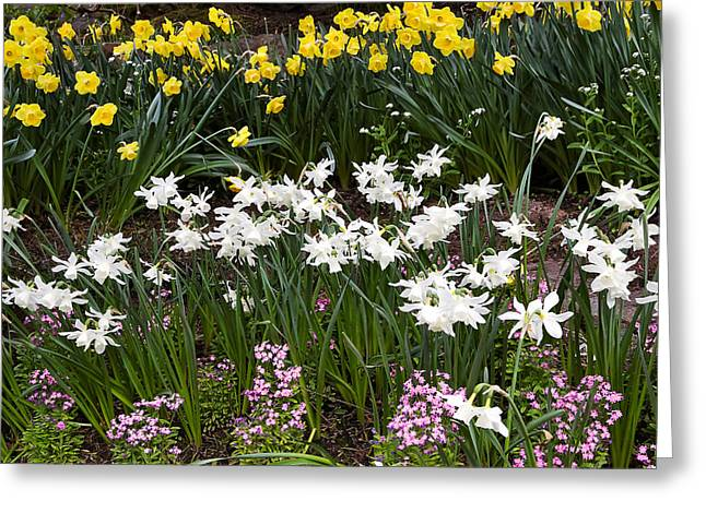 Spring Bulbs Greeting Cards - Narcissus and Daffodils in a Spring Flowerbed Greeting Card by Louise Heusinkveld