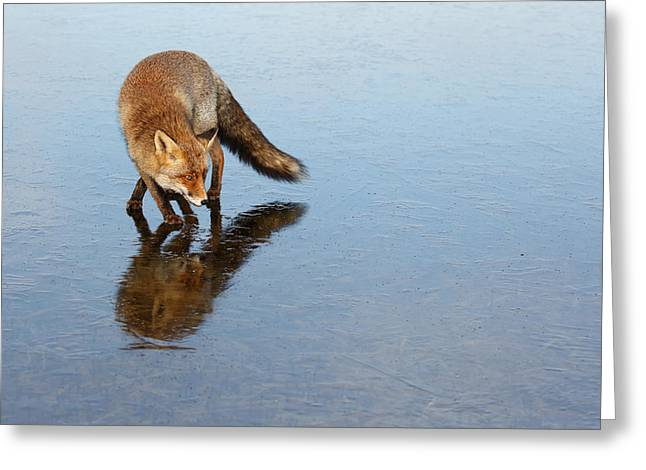 Narcissus - Fox On The Ice Greeting Card