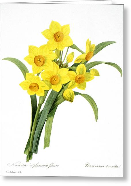 1833 Greeting Cards - Narcissus (n. Tazetta) Greeting Card by Granger