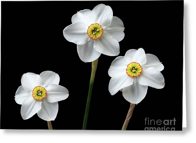 Narcissus 'poeticus' Greeting Card