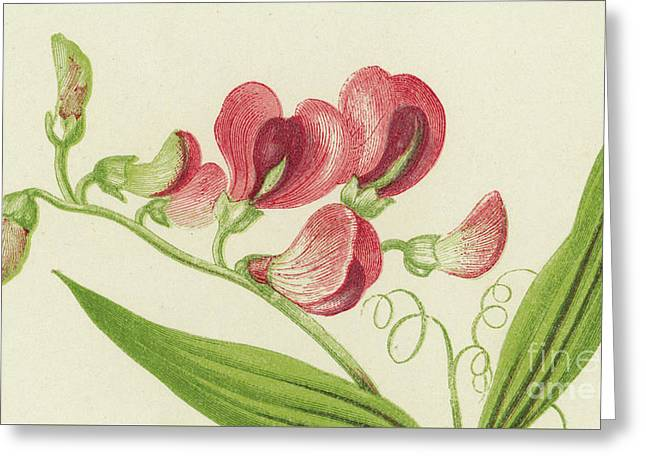 Narrow Leaved Everlasting Pea Greeting Card