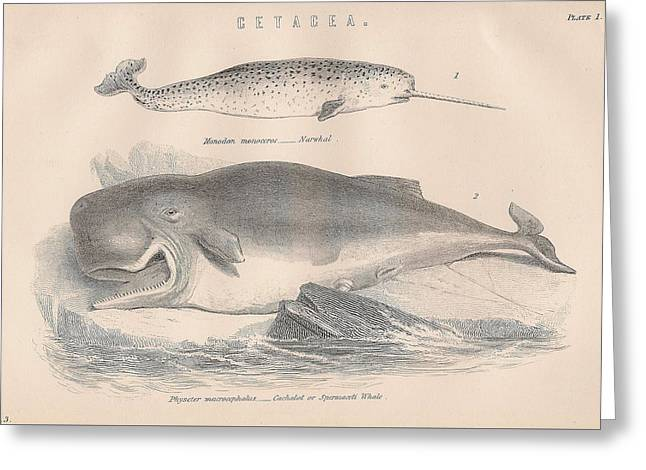 Narwhal And Sperm Whale Greeting Card by Victorian Engraver