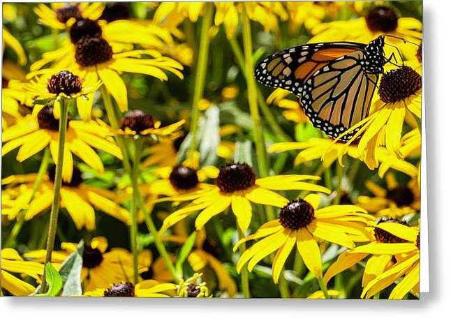 Monarch Butterfly On Yellow Flowers Greeting Card