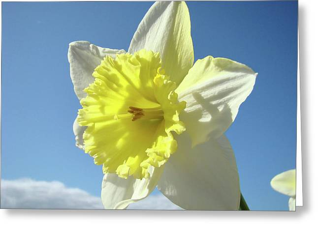Nature Daffodil Flowers Art Prints Spring Nature Art Greeting Card by Baslee Troutman