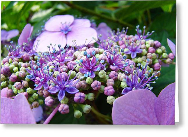 Nature Floral Art Prints Purple Hydrangea Flowers Baslee Troutman Greeting Card