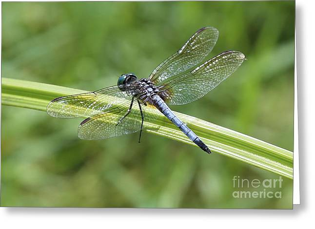 Nature Macro - Blue Dragonfly Greeting Card by Carol Groenen