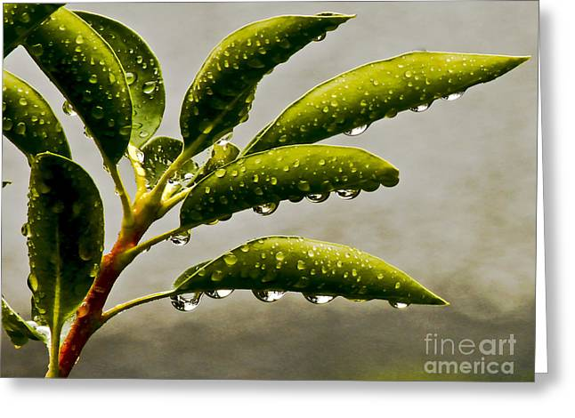 Early Morning Raindrops Greeting Card by Carol F Austin