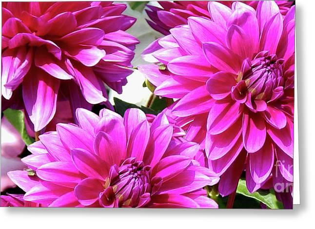 Natures Perfume Dahlias Red Tones Greeting Card