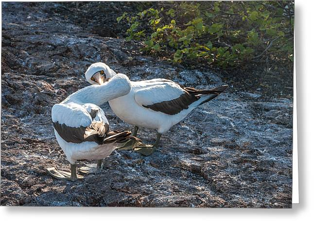 Nazca Or Masked Boobies In Courtship  Genovesa Island Galapagos Islands Greeting Card