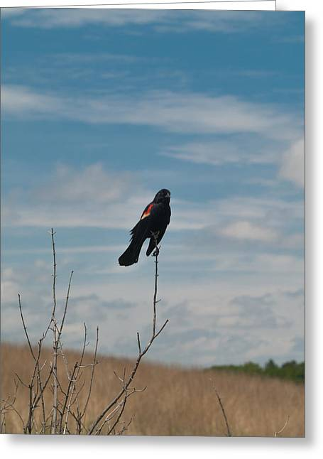 Greeting Card featuring the photograph Nebraska Red-winged Black Bird by Joshua House