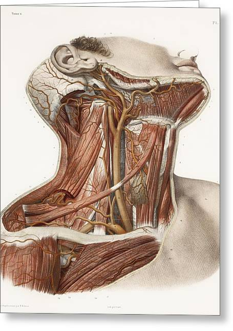 Hand-colored Lithograph Greeting Cards - Neck Vascular Anatomy, Historical Artwork Greeting Card by