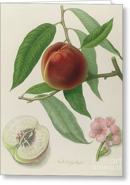 Nectarine Greeting Card by William Hooker