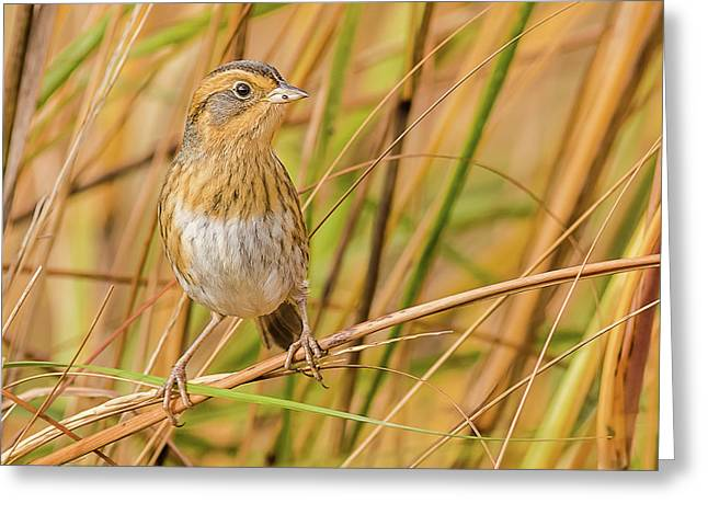 Nelson's Sparrow Perched On A Brown Reed Greeting Card by Morris Finkelstein