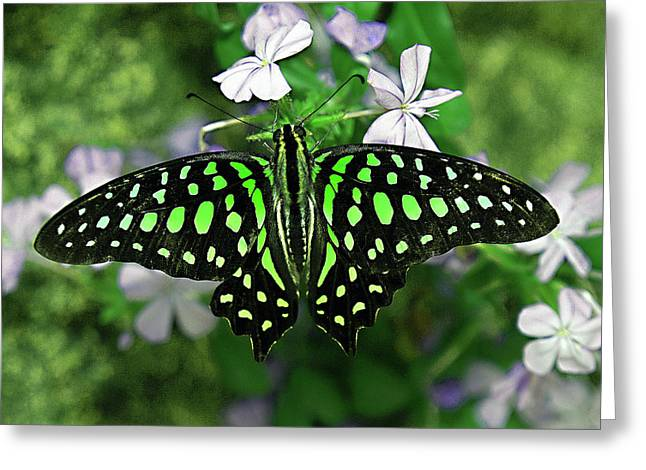 Neon --- Tailed Jay Butterfly Greeting Card