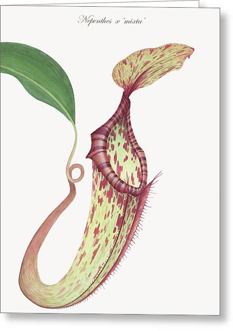 Pitcher Drawings Greeting Cards - Nepenthes x mixta Greeting Card by Scott Bennett