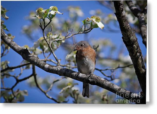 Nest Building Greeting Card by Douglas Stucky