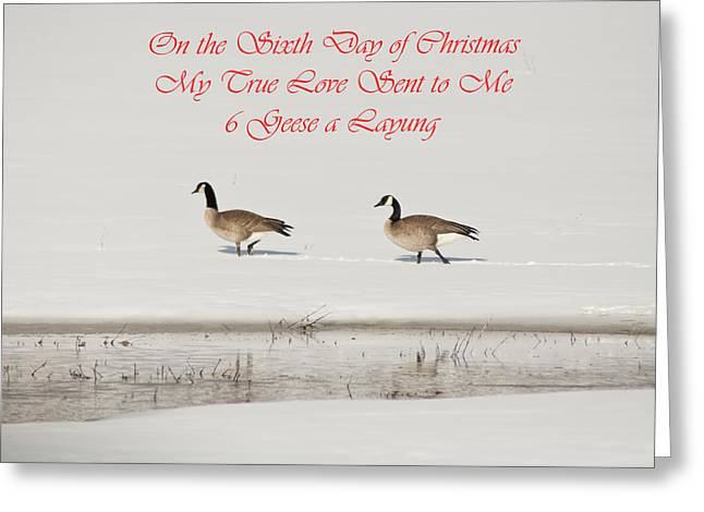 Nesting Canada Geese Greeting Card
