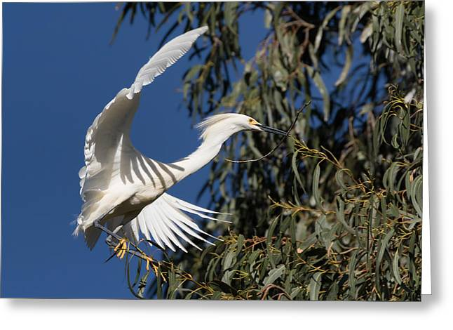 Nesting Egret Brings A Branch Greeting Card