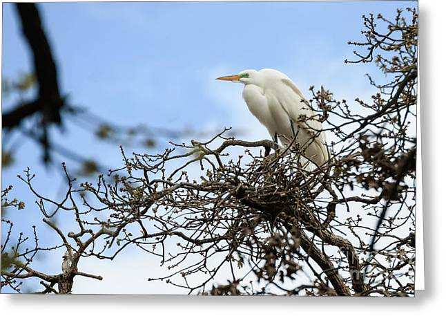 Nesting Egret Greeting Card