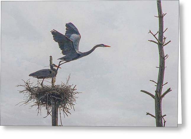 Nesting Great Blue Heron Greeting Card