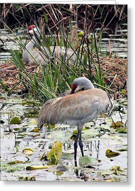 Nesting Sandhill Crane Pair Greeting Card