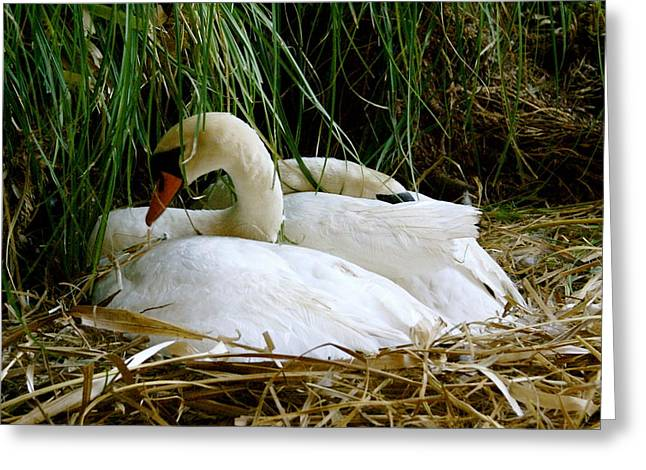 Nesting Swans Greeting Card by Sonja Anderson