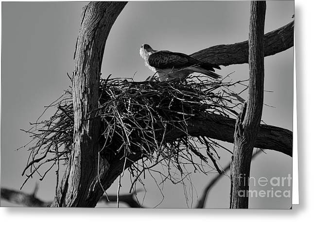 Greeting Card featuring the photograph Nesting V2 by Douglas Barnard