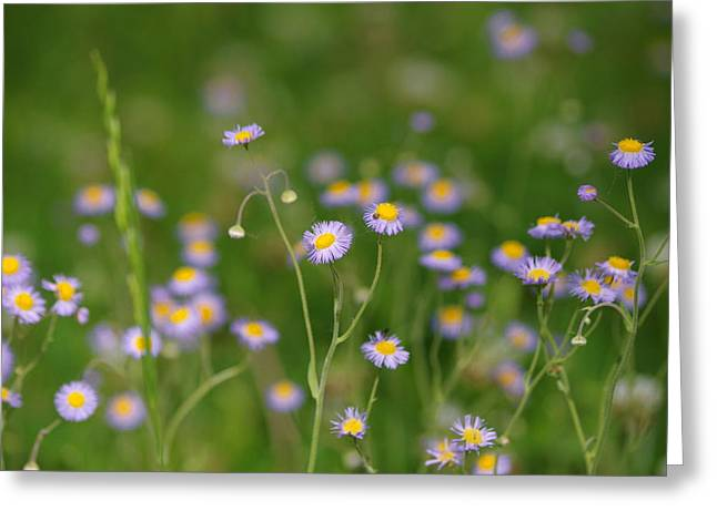New England Aster Greeting Card by Aaron Rushin