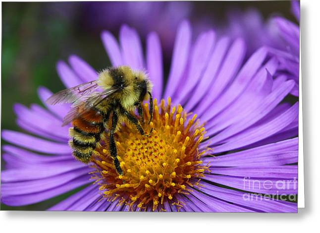 Greeting Card featuring the photograph New England Aster And Bee by Steve Augustin