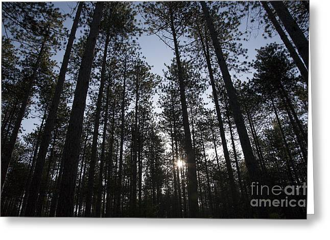 New England Red Pine Forest Greeting Card
