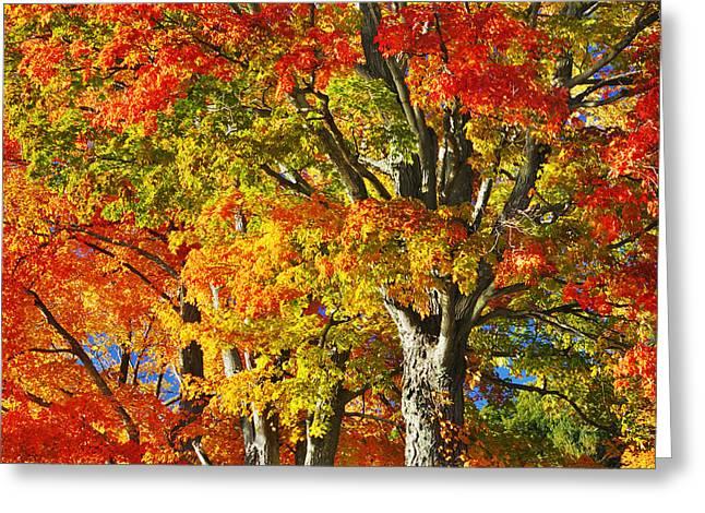 New England Sugar Maples Greeting Card