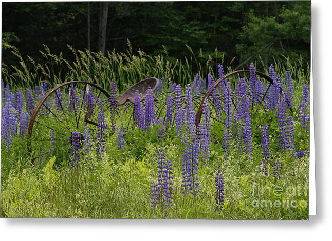 New Hampshire Lupines Greeting Card by Stan and Anne Foster