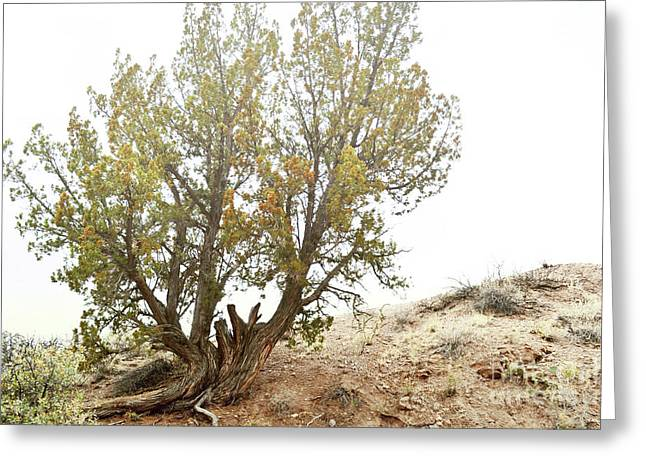 Greeting Card featuring the photograph New Mexico Desert Southwest Tree by Andrea Hazel Ihlefeld