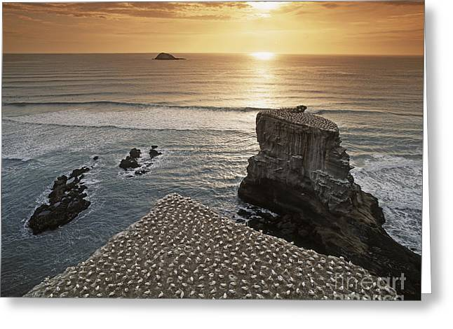 new zealand gannet colony at muriwai beach ,gannet fly from Muri Greeting Card by Juergen Held