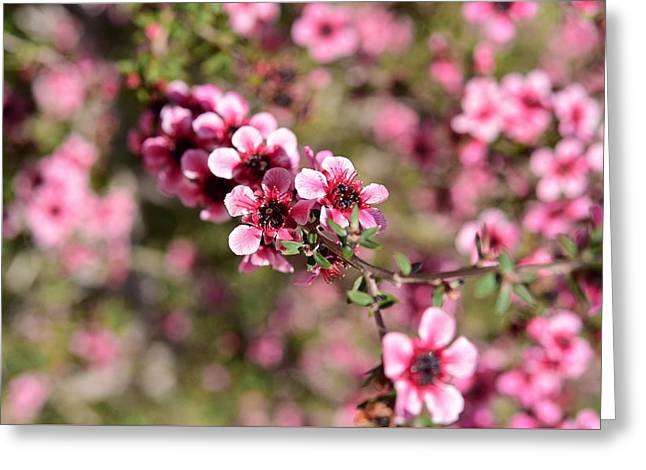 New Zealand Tea Tree Flowers Macro 1 Greeting Card