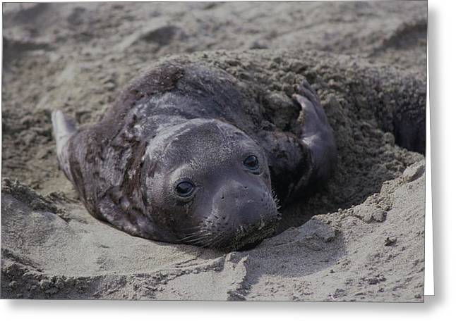 Newborn Northern Elephant Seal Pup Greeting Card