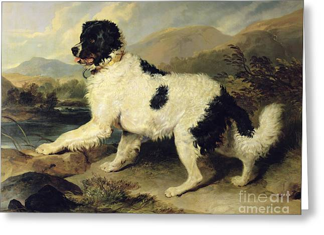 Newfoundland Dog Called Lion Greeting Card by Sir Edwin Landseer