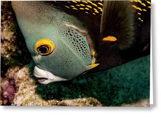 Nibbling French Angel Fish Greeting Card by Jean Noren