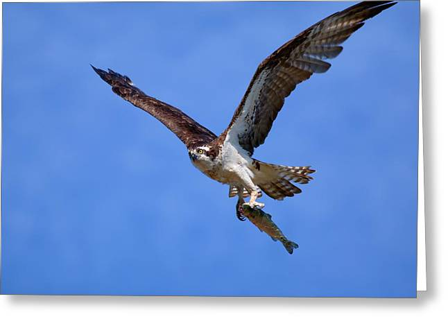 Flying Animal Greeting Cards - Nice Catch Greeting Card by Randall Ingalls