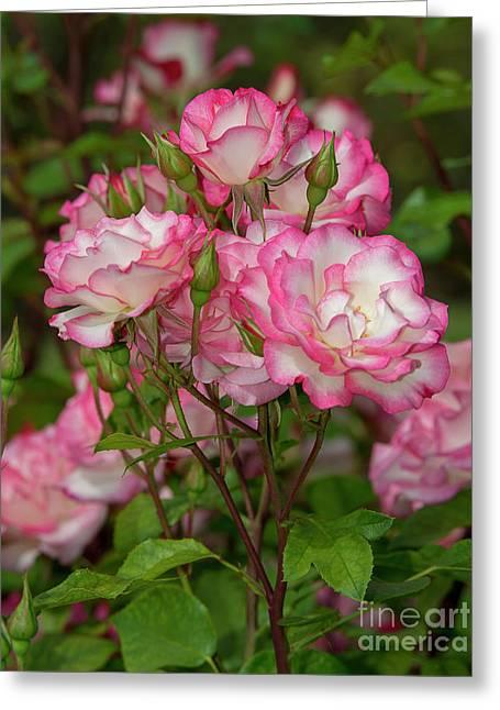 Nicole Roses 1 Greeting Card