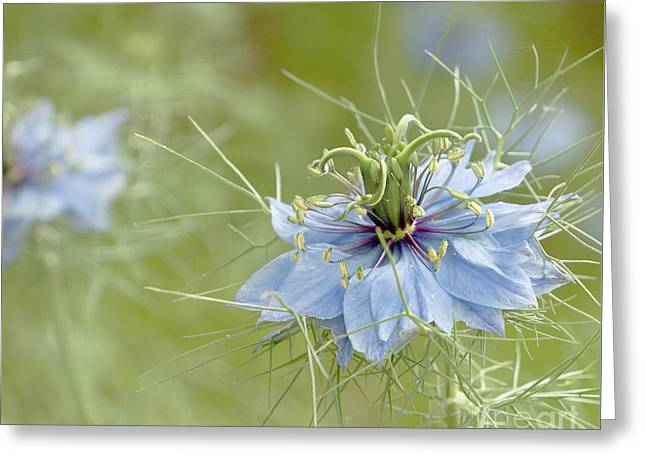 Greeting Card featuring the photograph Nigella Damascena by Cindy Garber Iverson