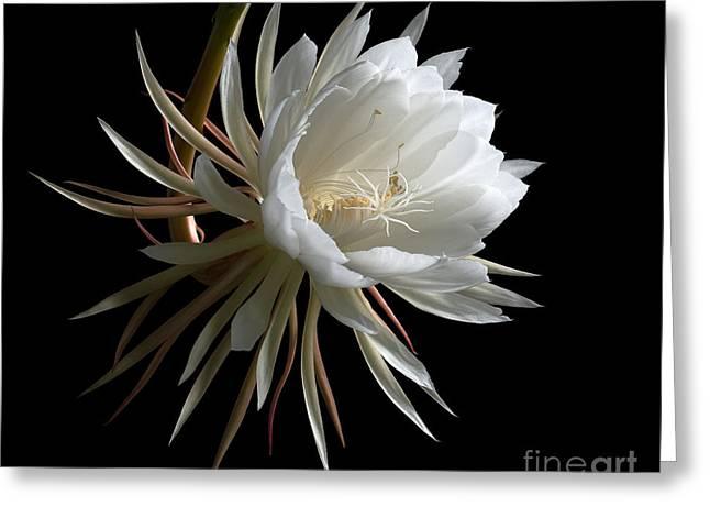 Night-blooming Cereus 1 Greeting Card