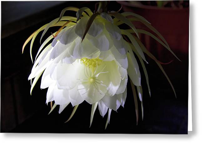 Night Blooming Cereus Greeting Card by Alana Thrower