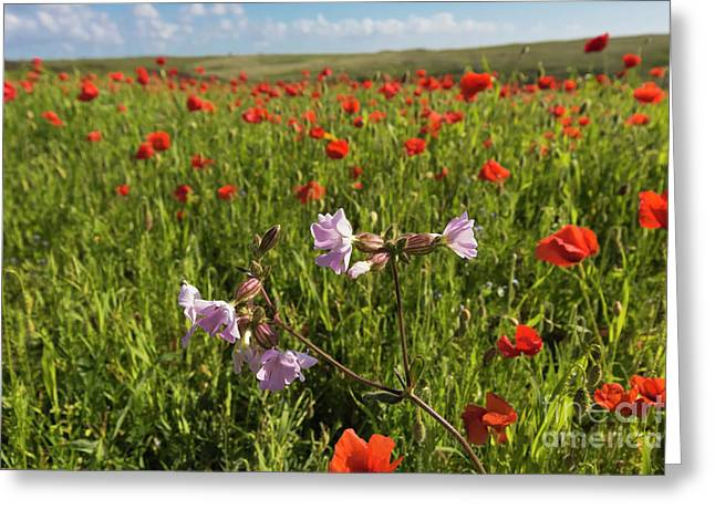 Night Flowering Catchfly And Poppies Greeting Card by Terri Waters