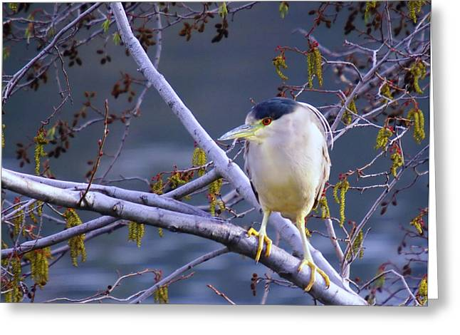 Birds Of A Feather Greeting Cards - Night Heron  Greeting Card by Jeff  Swan